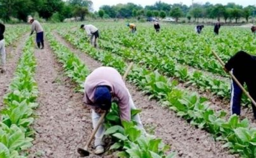 Invirtieron 102 millones de pesos en productores tabacaleros de Corrientes